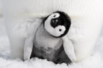 La marcia dei pinguini - Il richiamo (03).jpg